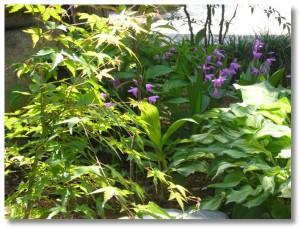 可憐に咲く紫蘭